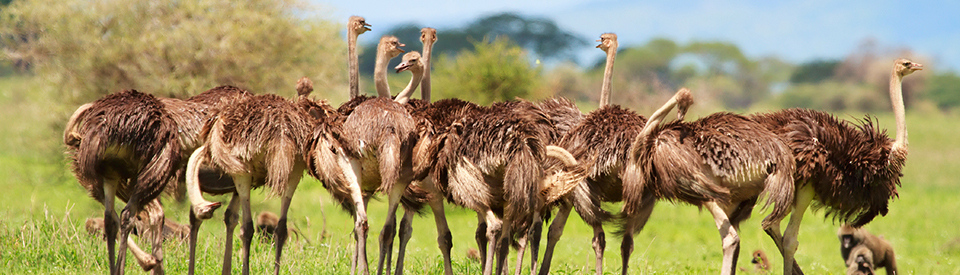 Fencing Solutions for Ostriches