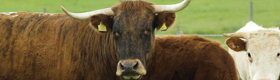 Fencing Solutions for Bull, Stock & Lamb