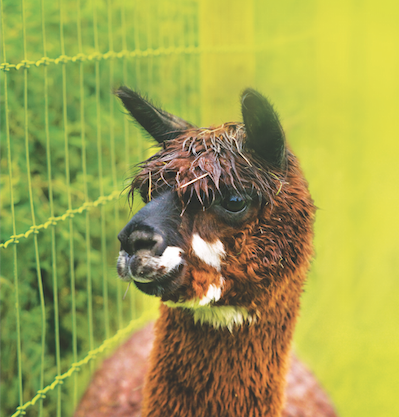 Fencing for Alpacas & Llamas
