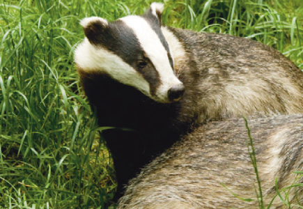 Fencing for the Safe Exclusion of Badgers