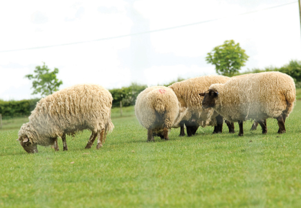 Stock and Lamb Fencing