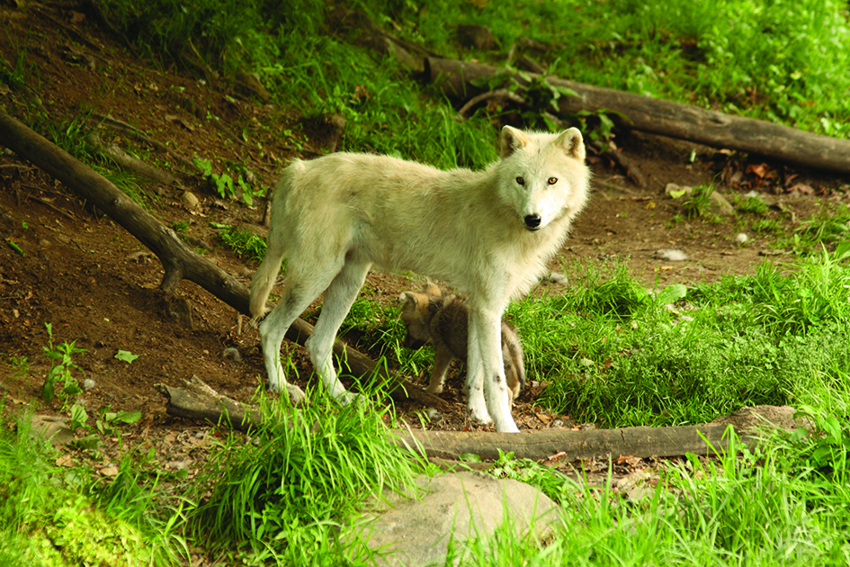 Fencing for Wolves