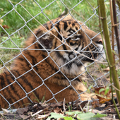 Hampton's Chain Link Forms Chester Zoo's State-of-the-Art Tiger Enclosure